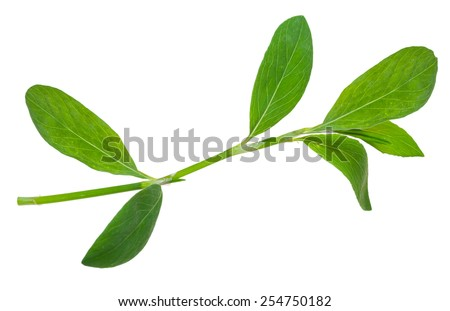 Medicinal plant. Knotweed or polygonum aviculare - stock photo
