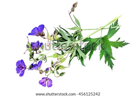 Medicinal plant Meadow geranium (Geranium pratense) Isolated on a white background. Used in herbal medicine, is a good honey plant - stock photo