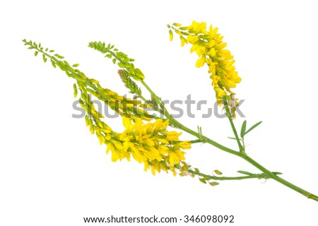 Medicinal plant: Melilotus officinalis (Yellow Sweet Clower) - stock photo