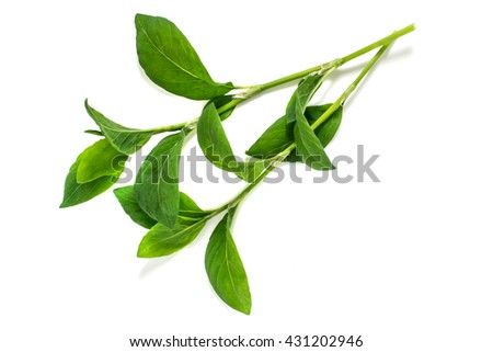 Medicinal plant Polygonum aviculare or common knotgrass (prostrate knotweed, birdweed, pigweed and lowgrass) on a white background. Used in herbal medicine, cooking, food for animals