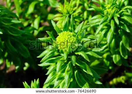 medicinal plant Rhodiola rosea (gold root) in garden - stock photo