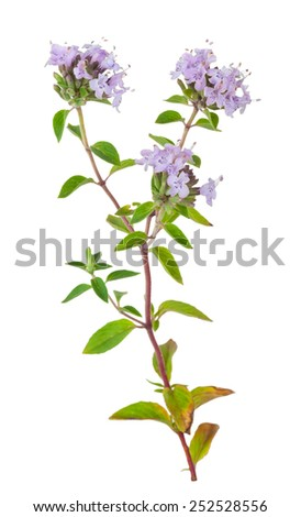 Medicinal plant: Thyme - stock photo