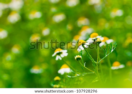 Medicine chamomile flower at field background. Selective focus, shallow depth of field - stock photo