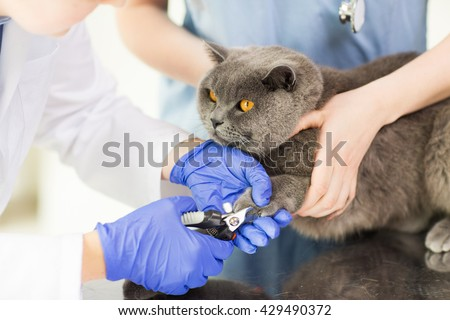 medicine, pet, animals, grooming and people concept - close up of veterinarian doctor with clipper cutting british cat nail at vet clinic - stock photo