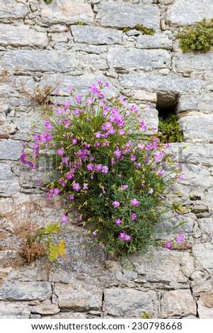 Medieval walls flowering shrub small pink stock photo royalty free medieval walls and flowering shrub with small pink flowers mightylinksfo