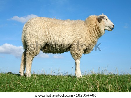 Meditating sheep standing on the seawall. - stock photo