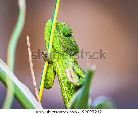 Mediterranean Chameleon (Chamaeleo chamaeleon)  - stock photo