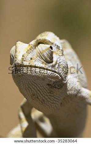 Mediterranean Chameleon - Chamaeleo chamaeleon - stock photo