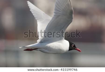 Mediterranean Gull - stock photo