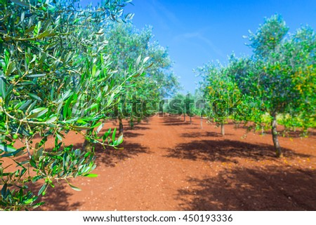 Mediterranean summer landscape. Olive tree plantation. Traditional mediterranean agriculture. - stock photo