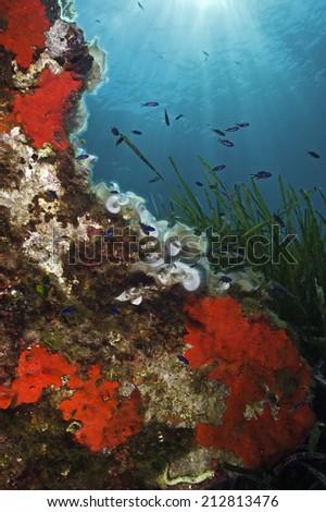 Mediterranean underwater scenery (Isle of Elba/Italy) - stock photo