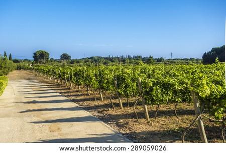 Mediterranean vineyard  - stock photo