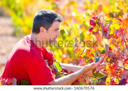 Mediterranean vineyard farmer checking grape leaves in Spain - stock photo