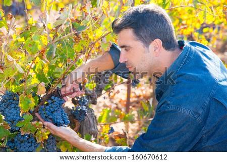Mediterranean vineyard harvest farmer farming cabernet sauvignon grape field in Spain - stock photo