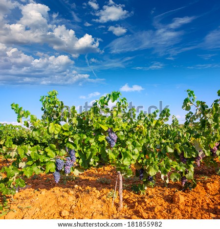 Mediterranean vineyards in Utiel Requena at Spain wines - stock photo