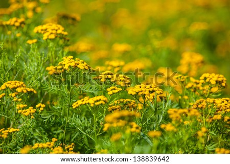 Medium Shot of Ragweed Flowers in a field, Blue Hill, Maine, USA. - stock photo