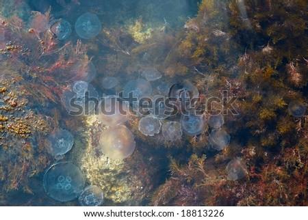 Medusa in water. - stock photo