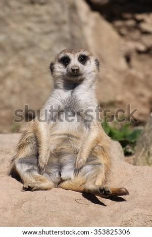 meercat - stock photo
