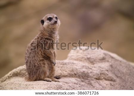 meercat is watching - stock photo