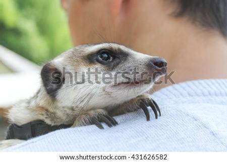 Meercat. Little friendly mammal watching outside. - stock photo