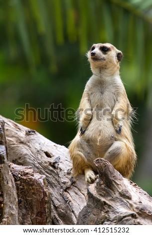 Meerkat. - stock photo
