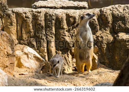Meerkat alert and active to check something in wild nature. - stock photo