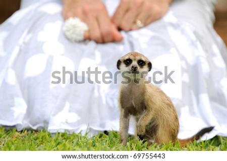 meerkat and woman's skirt - stock photo