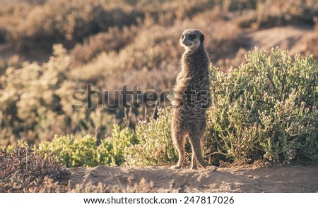 Meerkat at sunrise standing towards the sun. Warming up. The Little Karoo. Western Cape. South Africa. - stock photo