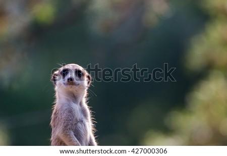 Meerkat, close up.  - stock photo