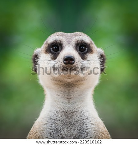 Meerkat face close up - stock photo