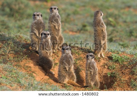 Meerkat Family basking in the sun - stock photo