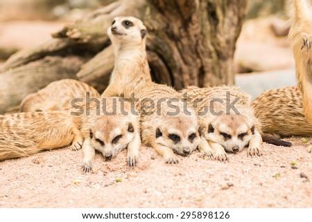 meerkat family in zoo - stock photo