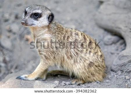 Meerkat in a zoo - stock photo