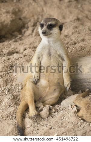 Meerkat in open zoo of Thailand (selective Focus) - stock photo