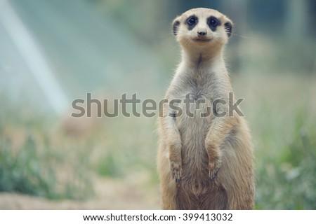 meerkat in standing position in the zoo - stock photo