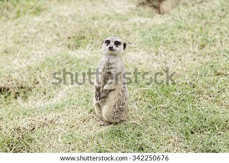 Meerkat in the wild, wild animal detail - stock photo