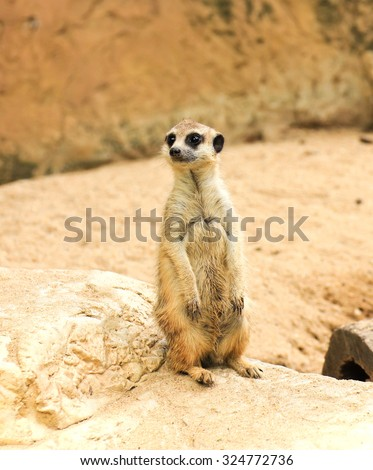 Meerkat in the zoo