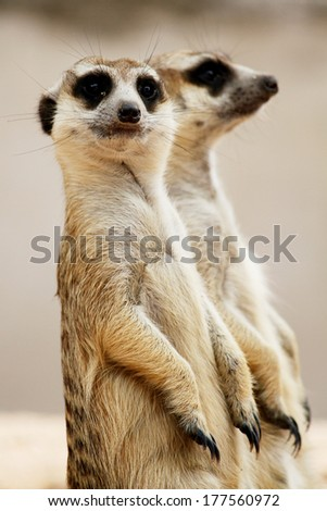 Meerkat in the zoo safari, Thailand  - stock photo