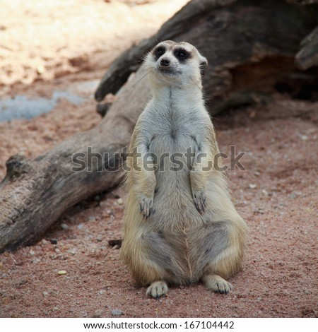 meerkat in with blur background. Open safari in Thailand