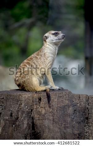 meerkat in zoo - stock photo