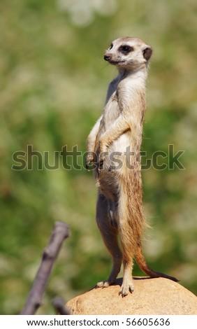Meerkat looking up at the camera - stock photo