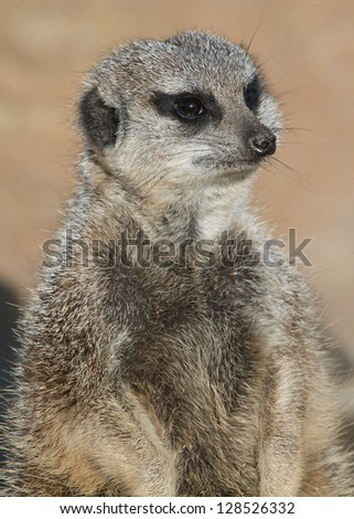Meerkat on guard at the zoo - stock photo