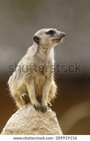 Meerkat on watch - stock photo