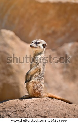 Meerkat or a suricate is on the lookout on a rock