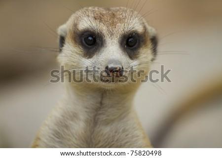 Meerkat portrait - stock photo
