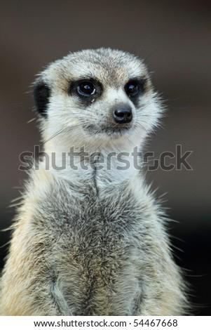 Meerkat, portrait close up - stock photo