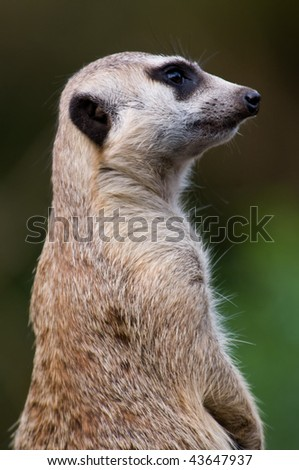 Meerkat Profile - stock photo