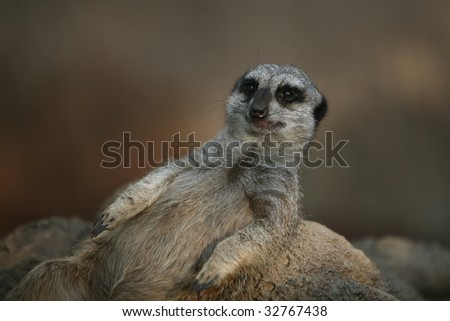 meerkat resting with his belly up