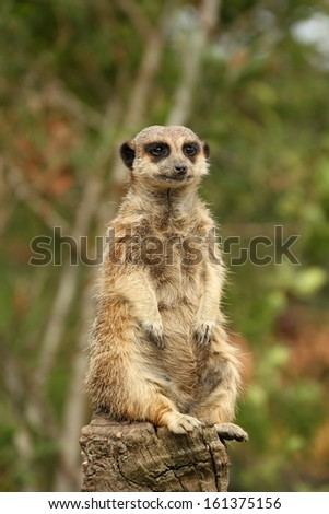 Meerkat sitting on a log - stock photo