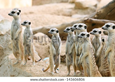 Meerkat sitting on a rock and looking at same place - stock photo